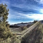 Part of Sunstone's 28 acres of organic estate vineyards.